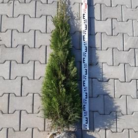 tuja szmaragd 120 cm