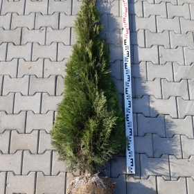 tuja szmaragd 150 cm